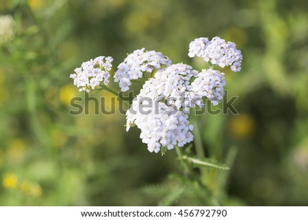 Yarrow (Achillea millefolium). Wild medicinal plants in Siberia - stock photo
