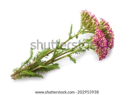 yarrow flower isolated on white background. - stock photo