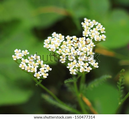 Yarrow flowers closeup - stock photo