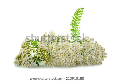 yarrow flowers isolated on white background. - stock photo
