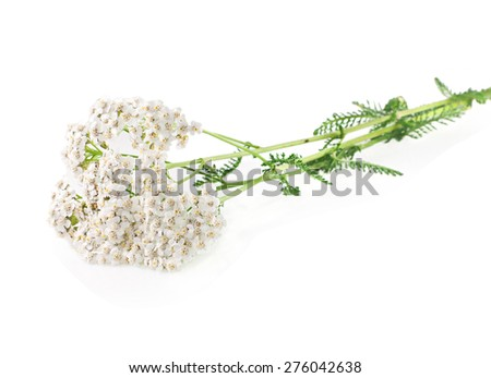 Yarrow herb on a white background. - stock photo
