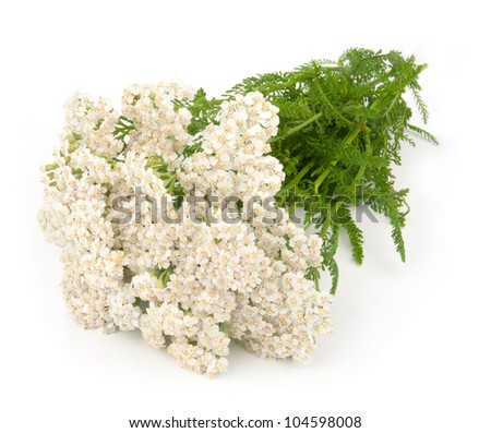 Yarrow herb Yarrow herb isolated on white background - stock photo