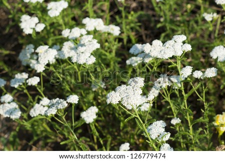 yarrow herbal plants - stock photo