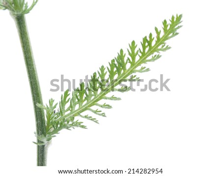 yarrow leaf on a white background - stock photo