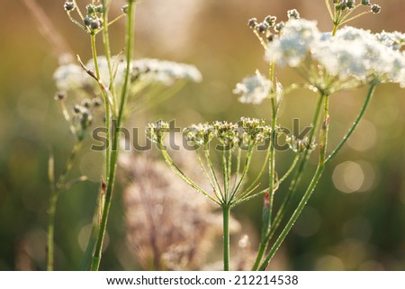 Yarrow plant (Achillea millefolium) at sunrise with drops of dew close-up, selective focus on some branches - stock photo