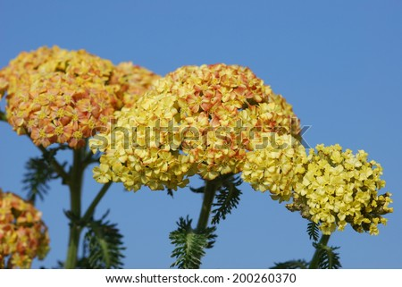 Yarrow yellow in bloom - stock photo