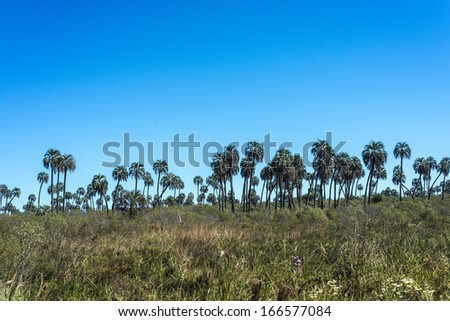Yatay Palms (Syagrus Yatay) on El Palmar National Park, one of Argentina's national parks, located on the center-west of the province of Entre Rios, between the cities of Colon and Concordia. - stock photo