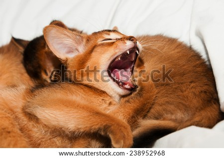 Yawning abyssinian kitten with sleeping sisters on bed - stock photo