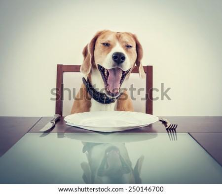 Yawning beagle dog tired to wait waiter - stock photo