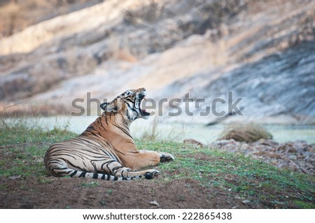 yawning Bengal tiger lying lazy on the shore of a river - national park ranthambhore in india - rajasthan - stock photo