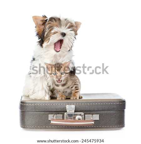 Yawning Biewer-Yorkshire terrier dog and bengal cat sitting on a suitcase. isolated on white background - stock photo
