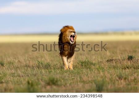Yawning big Lion Ron, one of Lion Notch sons, in Masai Mara, Kenya - stock photo
