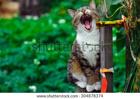 Yawning cat sits on a fence