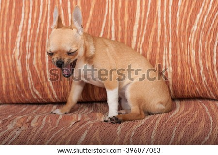 Yawning Cinnamon Chihuahua puppy sitting on sofa, 4 months old female.