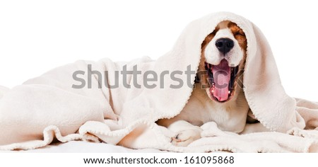 yawning dog under a blanket, isolated on  white