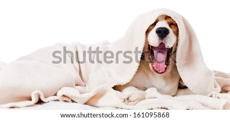 yawning dog under a blanket, isolated on  white  - stock photo
