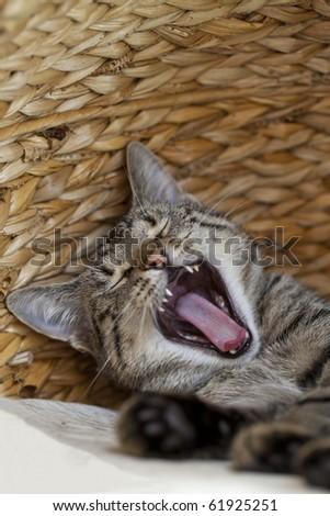 yawning kitten inside scratcher (cat tree ) - stock photo