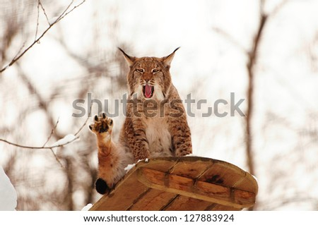 yawning lynx on an observation deck in winter - stock photo
