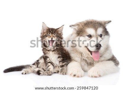 Yawning maine coon cat and alaskan malamute dog together. isolated on white background - stock photo