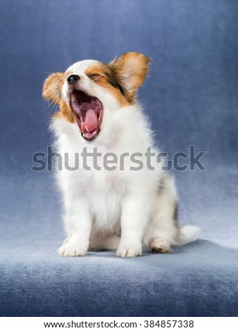 Yawning puppy Papillon on a blue background - stock photo