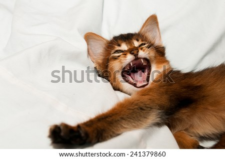 Yawning somali kitten portrait on white bed - stock photo