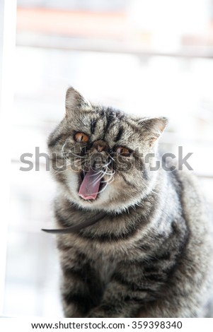 Yawning whozz Persian Cat - stock photo