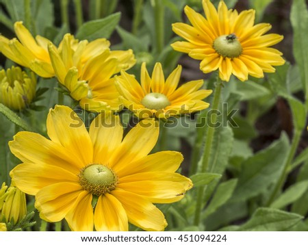 Yelllow daisy in summer in garden with close up  - stock photo