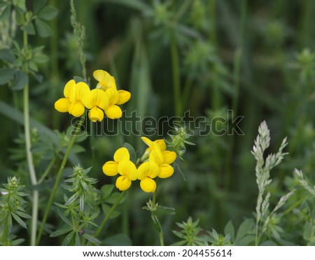 Yelllow flowers of Birdsfoot Trefoil (Lotus corniculatus).  Shot in spring in Kitchener, Ontario, Canada.  - stock photo