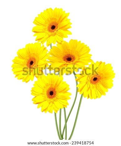 yelllow Gerber flowers. Isolated on white background  - stock photo