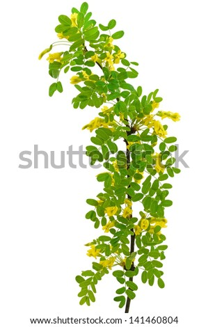 Yellow acacia (Caragana arborescens) branch isolated on a white background - stock photo