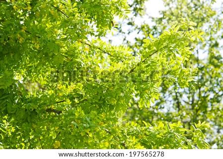 Yellow acacia / caragana in the spring - stock photo
