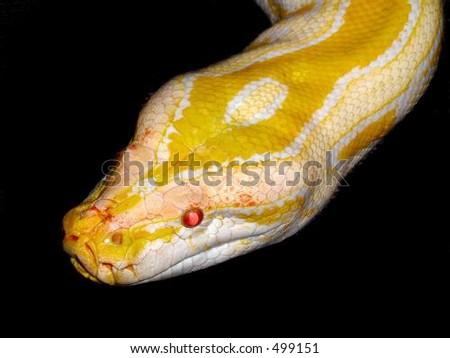 Yellow Albino Burmese Python - stock photo