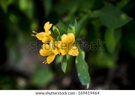 Yellow Allamanda cathartica flower in the forest4 - stock photo