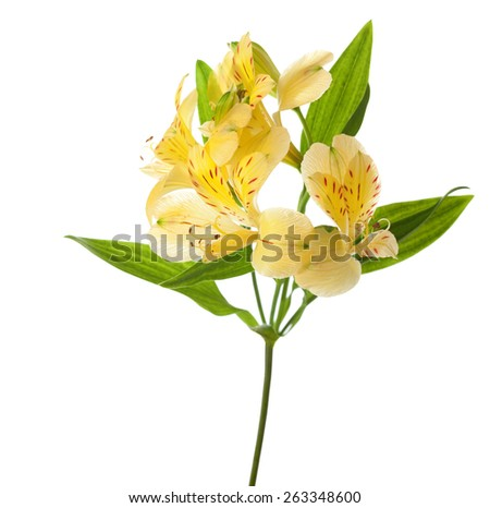 Yellow Alstroemeria  isolated on white background. - stock photo