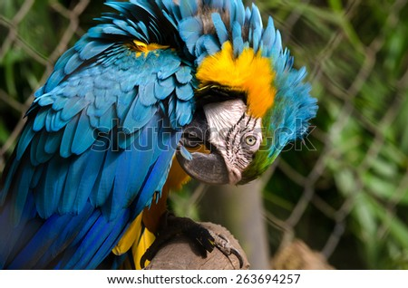 yellow and blue parrot in Brazil