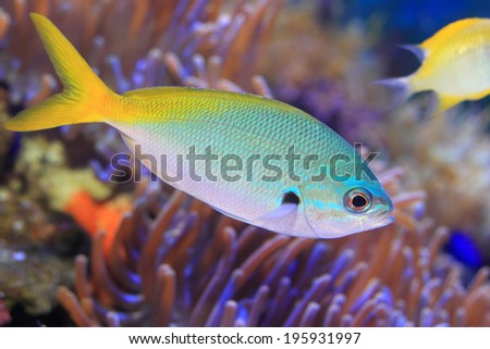 Yellow and blueback fusilier or Redfin fusilier (Caesio teres) in Japan