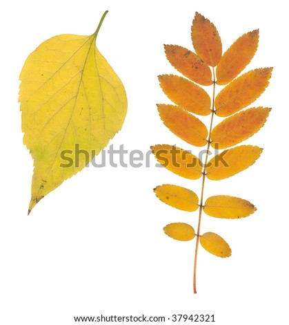 yellow and brown autumn leaf isolated on white