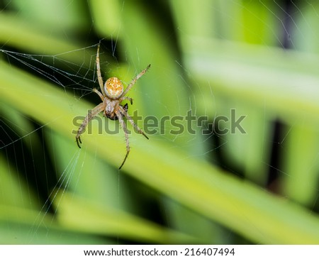 Yellow and Brown Desert Spider Begins To Ingest Captured Prey on Web
