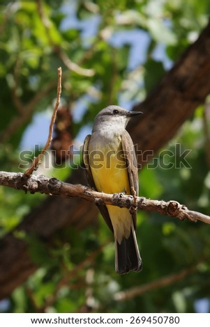 yellow and gray flycatcher bird perched on a branch - stock photo