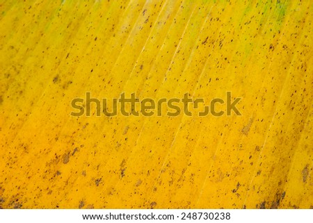 yellow and green color banana leaf texture background - stock photo