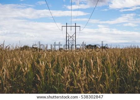 Yellow and green corn under power lines.