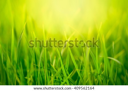 Yellow  and green Fresh green summer grass in sunny day sunlight background blur pace for paste text, - stock photo