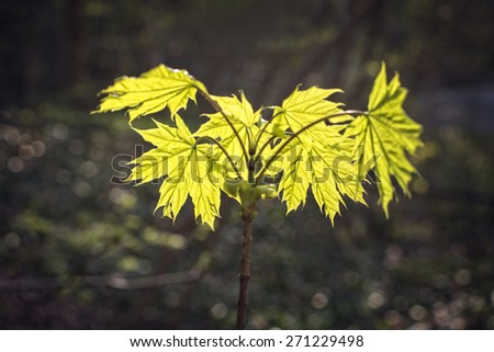 Yellow and green leaves in backlight - stock photo