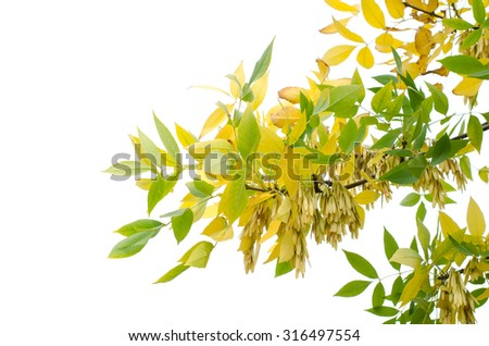 yellow and green leaves on white background, isolated - stock photo