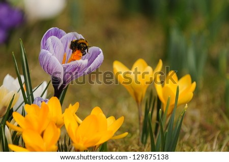 Yellow and lilac crocus flowers with a bumblebee - stock photo