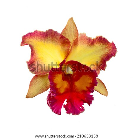 Yellow and Orange Cattleya Orchid isolated on a white background. - stock photo