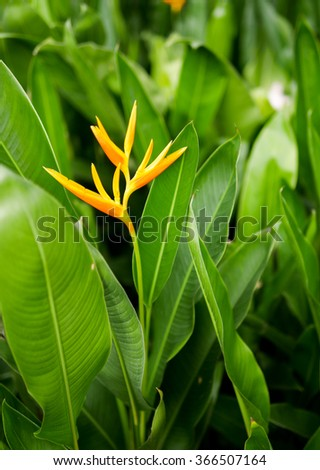 Yellow and orange Heliconia flowers in the garden - stock photo