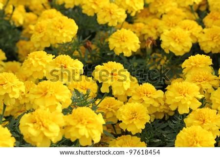 Yellow and orange marigold - stock photo