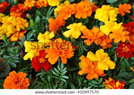 Yellow and orange marigold flowers in bloom  - stock photo