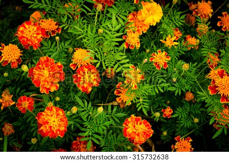 Yellow and orange marigold flowers in the garden in the fall - stock photo
